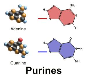 Purine_bases