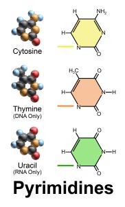 pyrimidine_bases